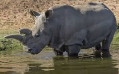 Only Four Northern White Rhinos Remain