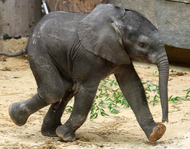 This healthy African Elephant calf is part of a critically endangered species that is hunted down for their valuable tusks.