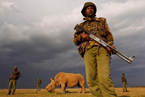 Northen white rhinos have become so close to extinction that they are now guarded by four man teams to protect them.