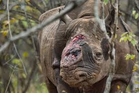 Many rhinos are hunted every year for their horns and many are not as lucky as this one and are killed.