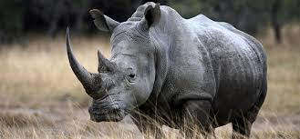 Rhinos face the endanger   of going extinct unless we do something to help them.