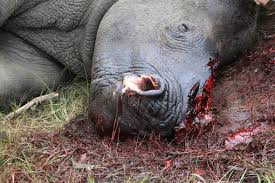 Poacher's utter disregard for the life's of these gentle beasts is disheartening.