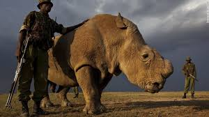Sudan is protected by armed guards and has had his horn removed to deter poachers.