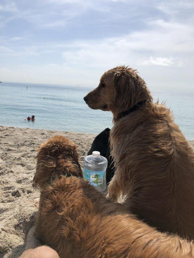 Two Golden Retrievers enjoy a beautiful day on Hobie Beach