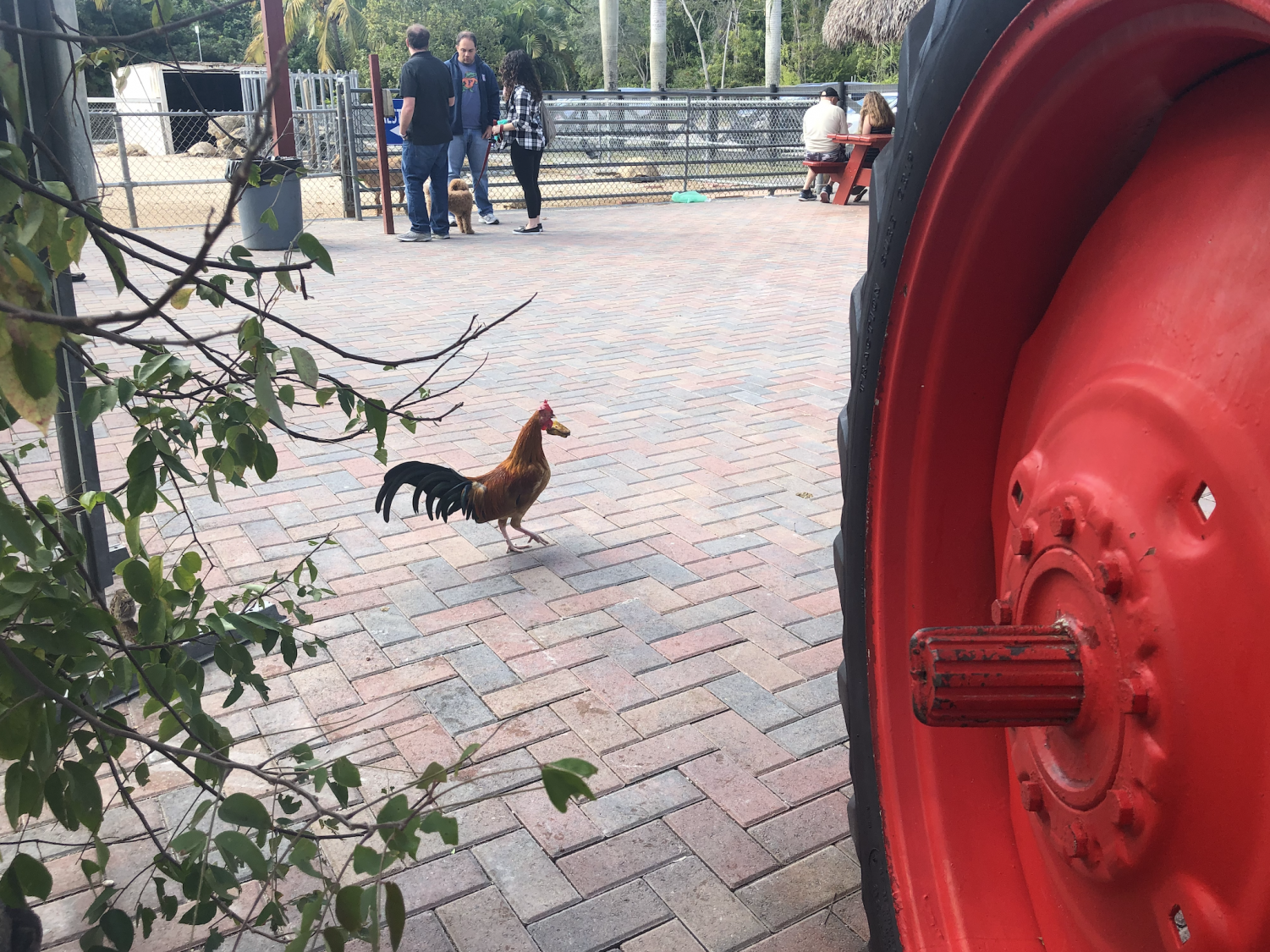 A+rooster+seen+roaming+the+Roberts+is+Here+grounds.