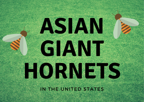 Asian giant hornets are known for being the largest hornets and have been spotted for the first time in the United States.