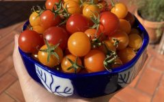 Cherry tomatoes are just one of the many plants junior Rachel Dopico grows in her garden at home.